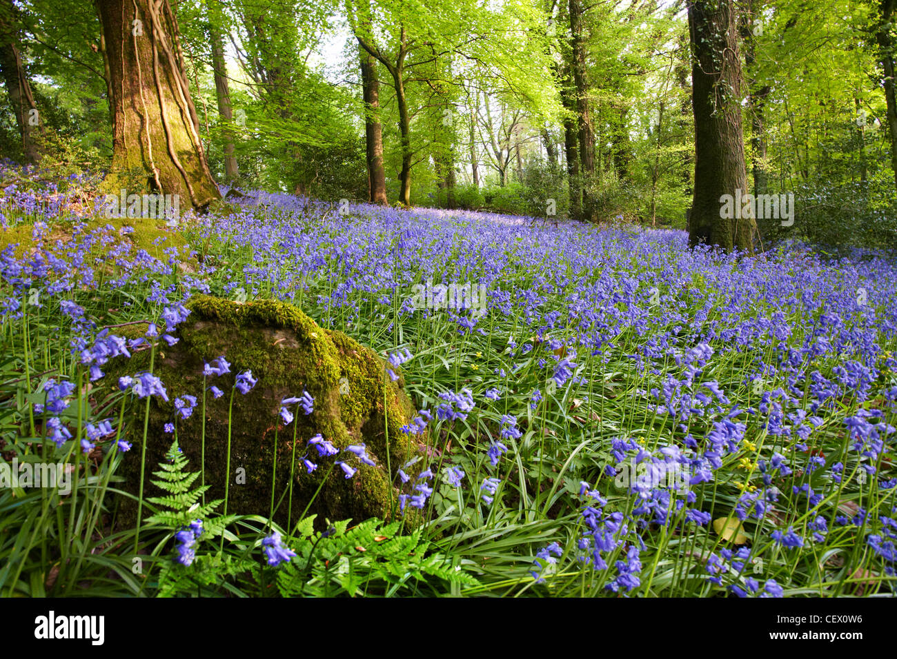 English bluebells in an ancient woodland in the Wye Valley. - Stock Image