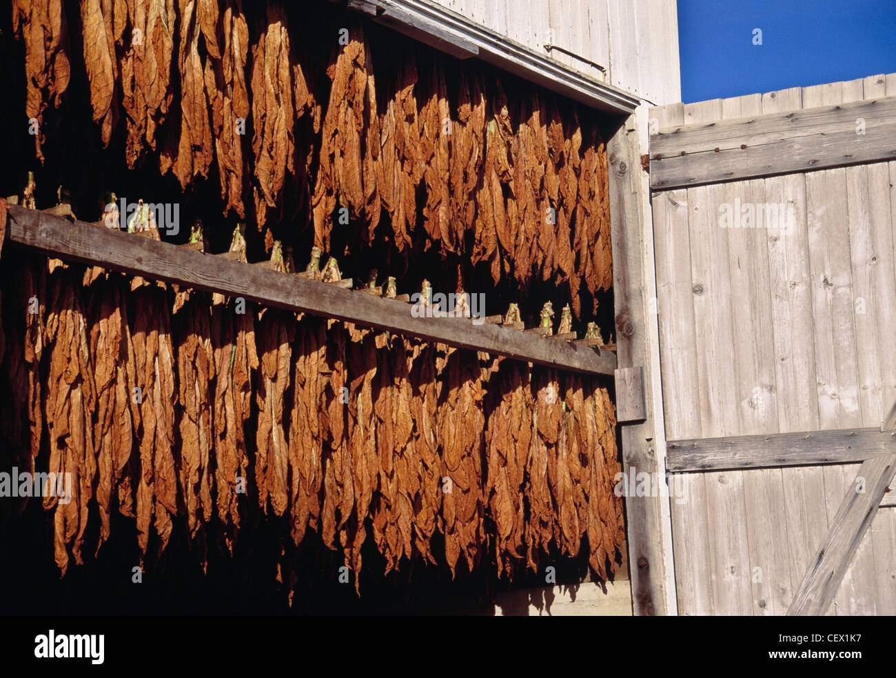 Drying leaves in barn on tobacco farm in Lancaster County, PA, USA - Stock Image