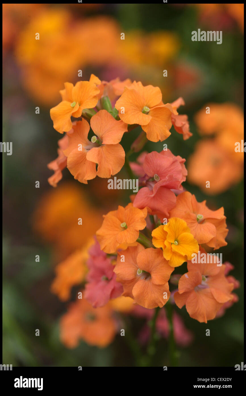 Apricot Twist (Erysimum)The RHS Chelsea Flower Show in London - Stock Image