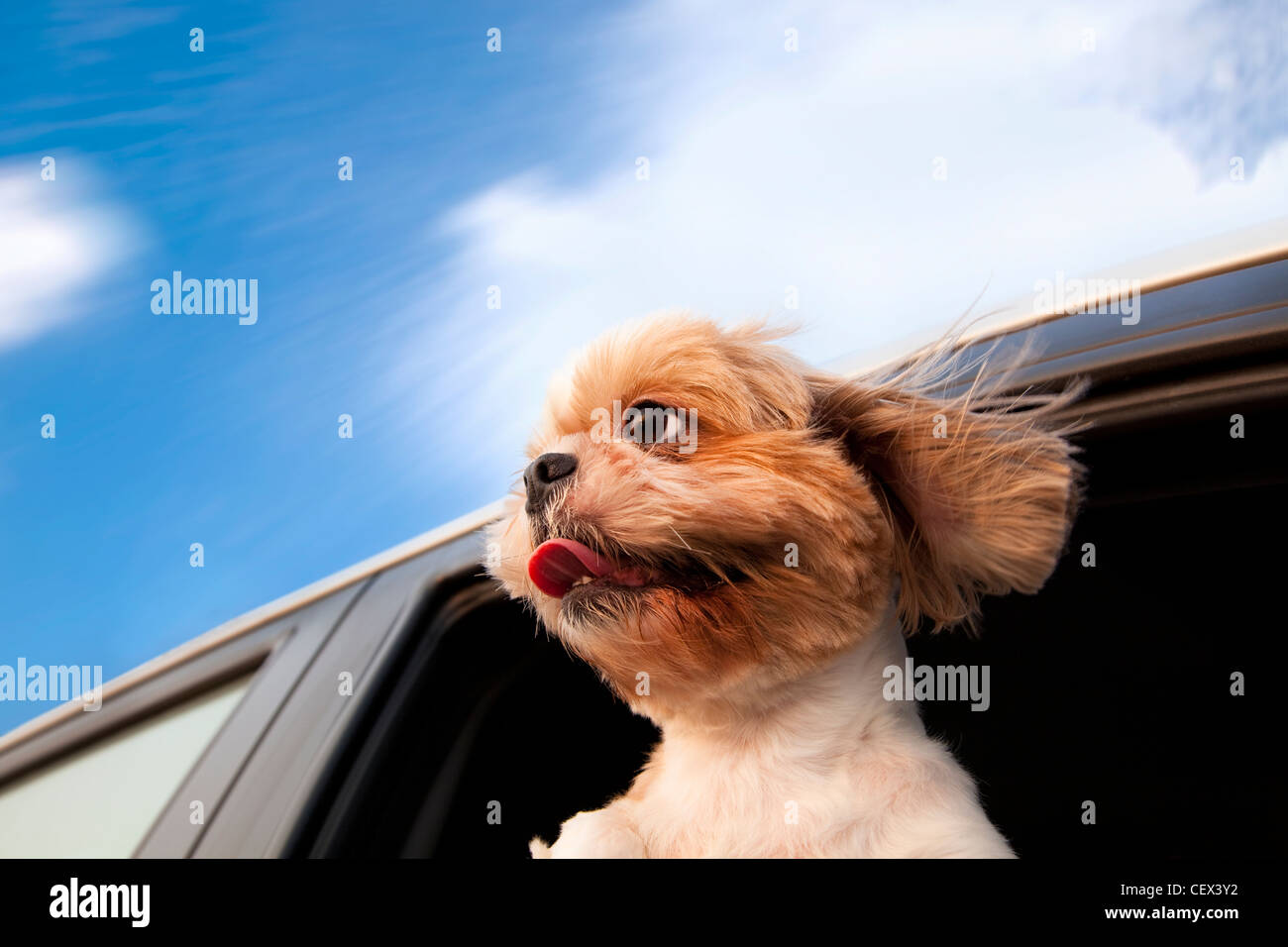 Dog in a Car Window and enjoy road trip - Stock Image