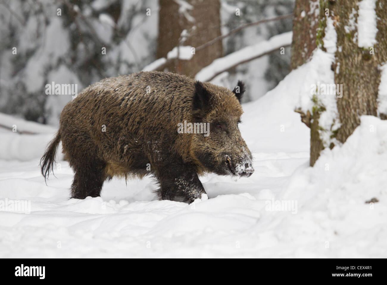 Wildschwein, Sus scrofa, wild boar - Stock Image