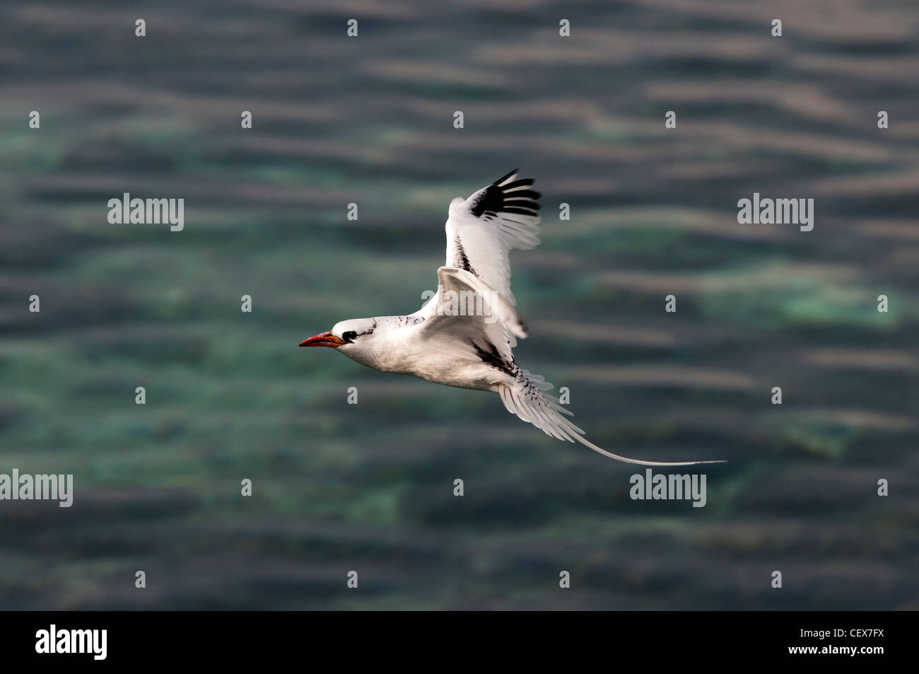 Red bille tropicbird flying on the ocean Phaethon aethereus  Dur Ghella, Dahlak archipelago Eritrea - Stock Image
