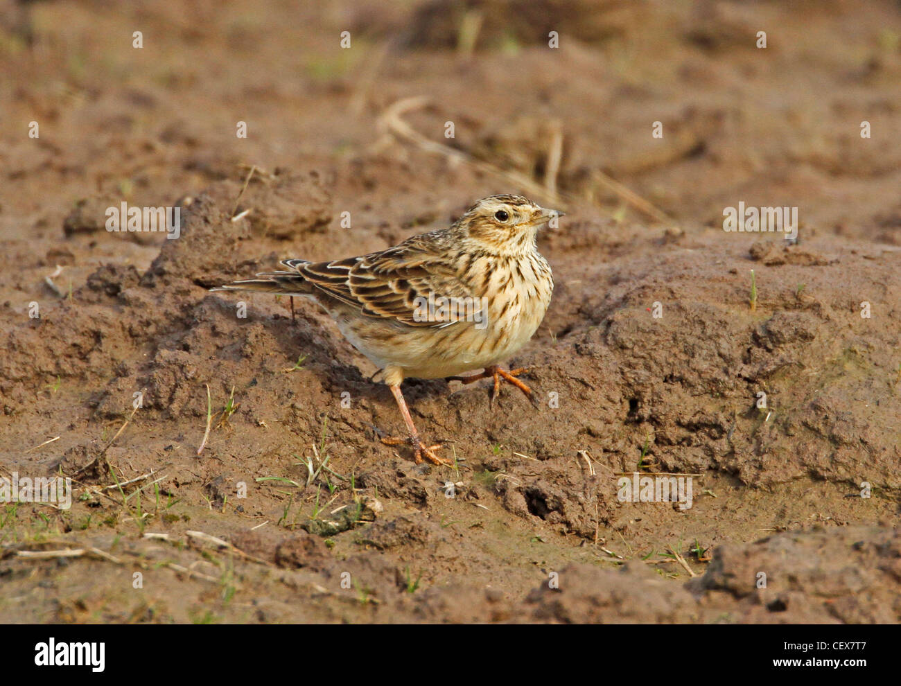 Skylark on the ground - Stock Image