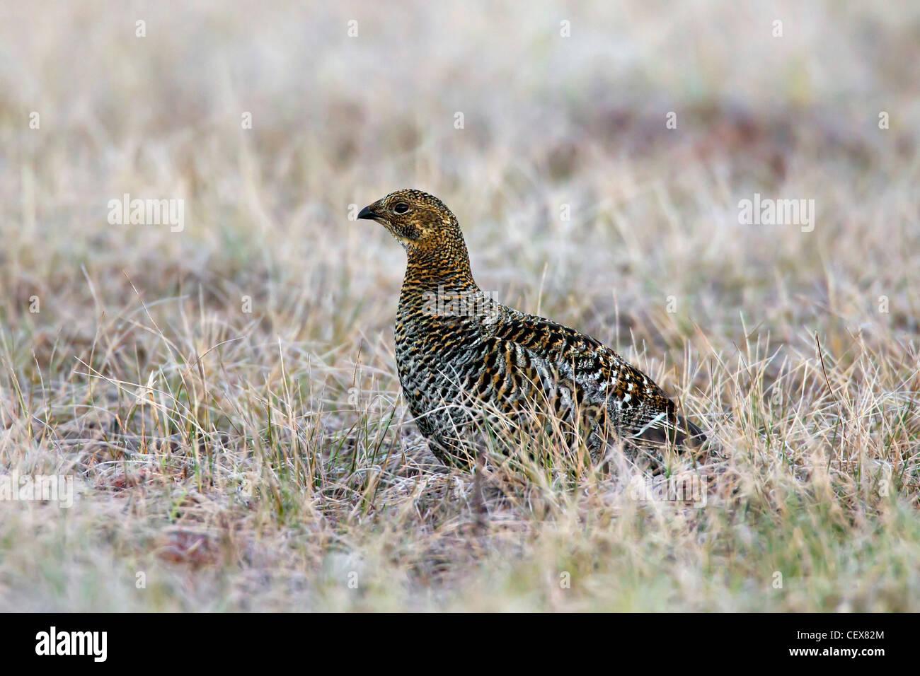 Black grouse (Lyrurus tetrix / Tetrao tetrix) female in grassland - Stock Image