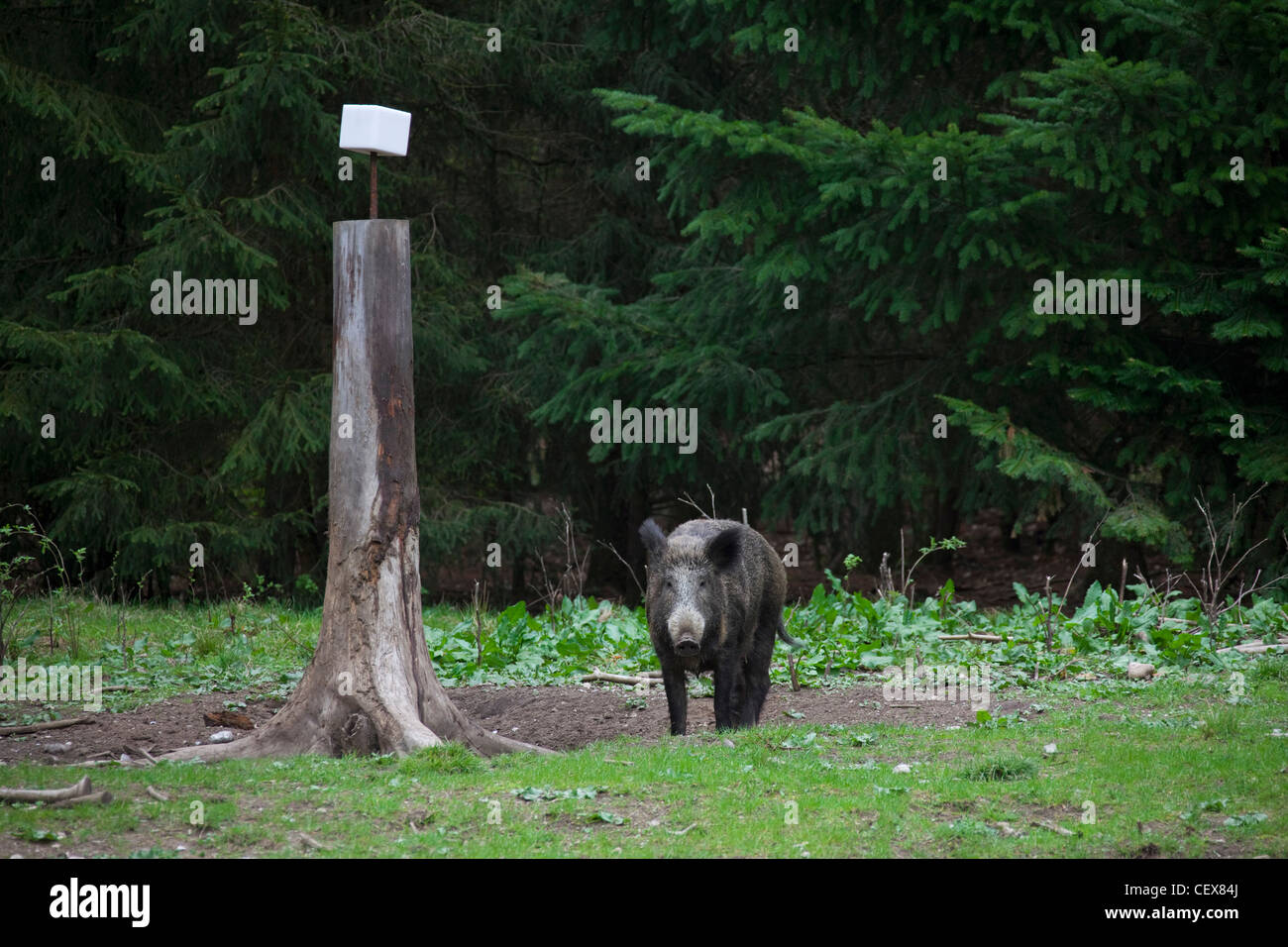 Wild boar (Sus scrofa) sow at salt lick in pine forest, Germany - Stock Image