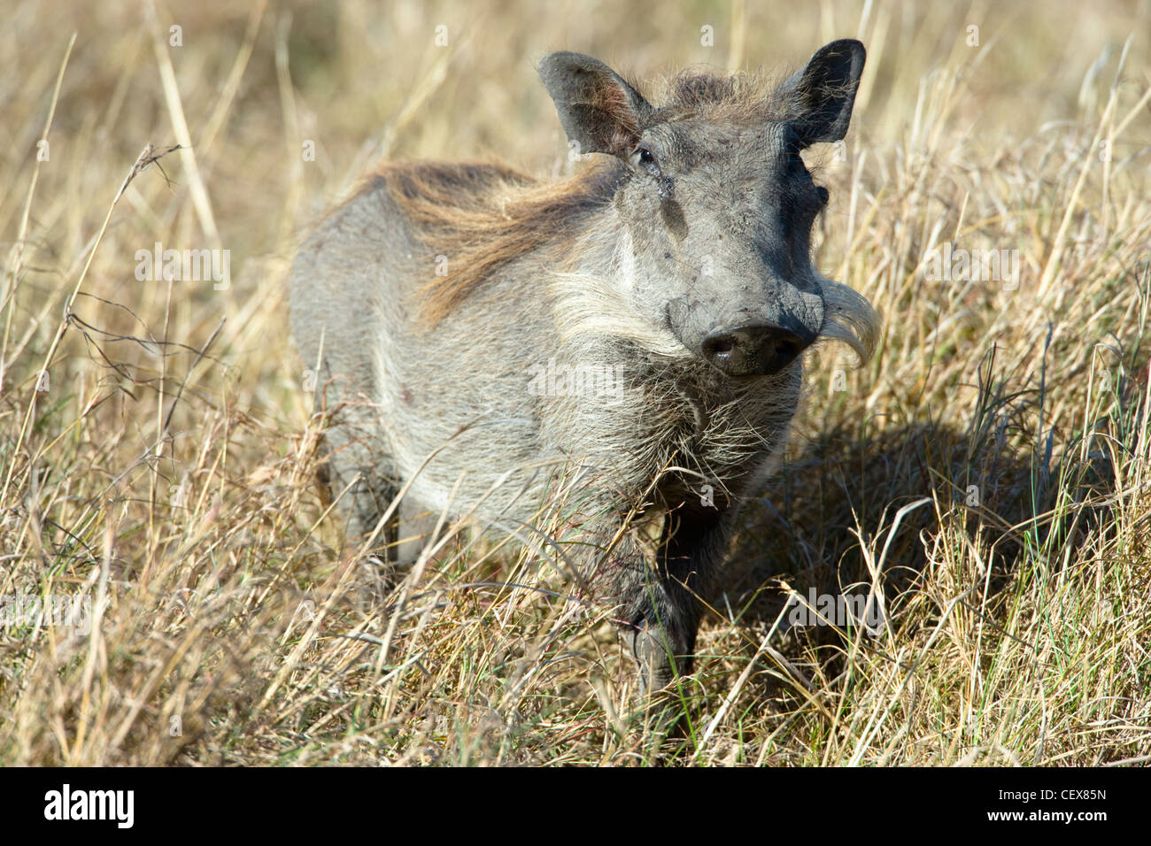 Young Warthog, Phacochoerus africanus, standing. Masai Mara, Kenya. - Stock Image