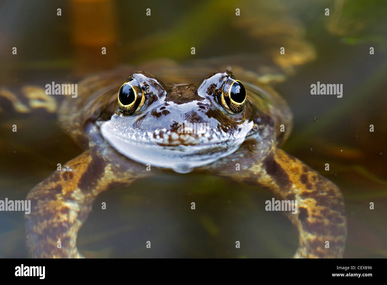 European Common Brown Frog (Rana temporaria) close-up in pond, Germany - Stock Image