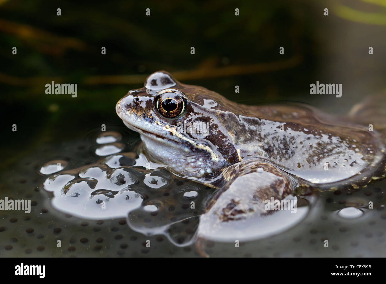 European Common Brown Frog (Rana temporaria) amongst frogspawn in pond, Germany - Stock Image