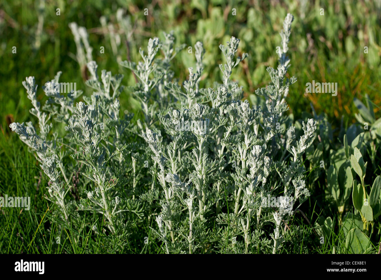 wormwood or artemisia maritima Chauhara- artemisia maritima is a herb mentioned in the ayurvedic pharmacopoeia for the treatment of pain, swelling, pin worms, alopecia, indigestion, fever and difficulty in micturition.
