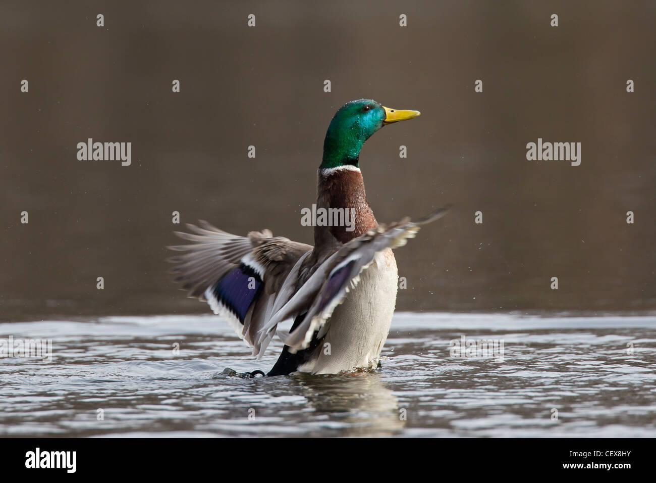 Mallard / Wild Duck (Anas platyrhynchos) drake flapping its wings on lake - Stock Image