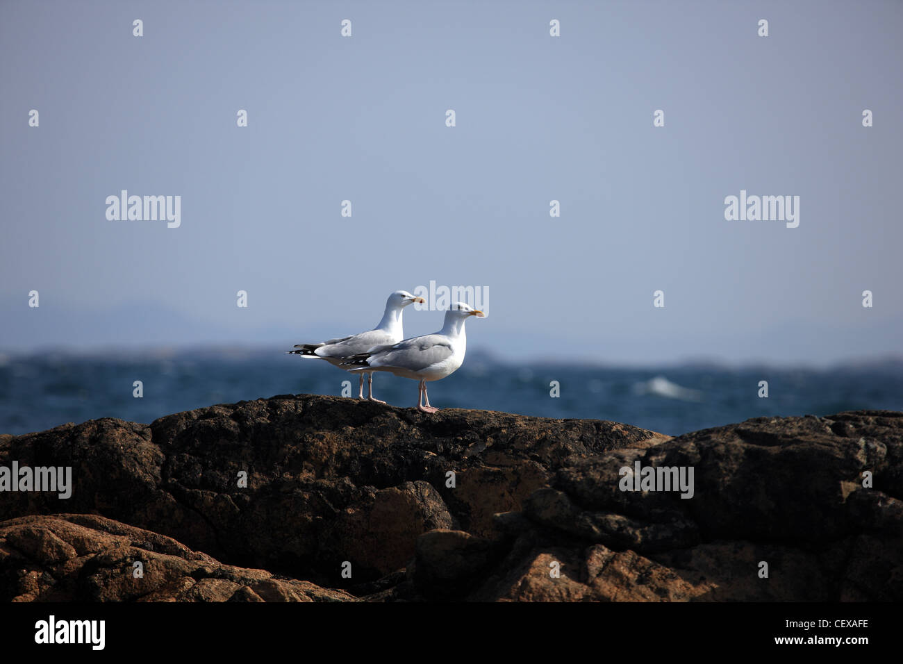 Pair of Herring Gulls on rocks by the sea - Stock Image