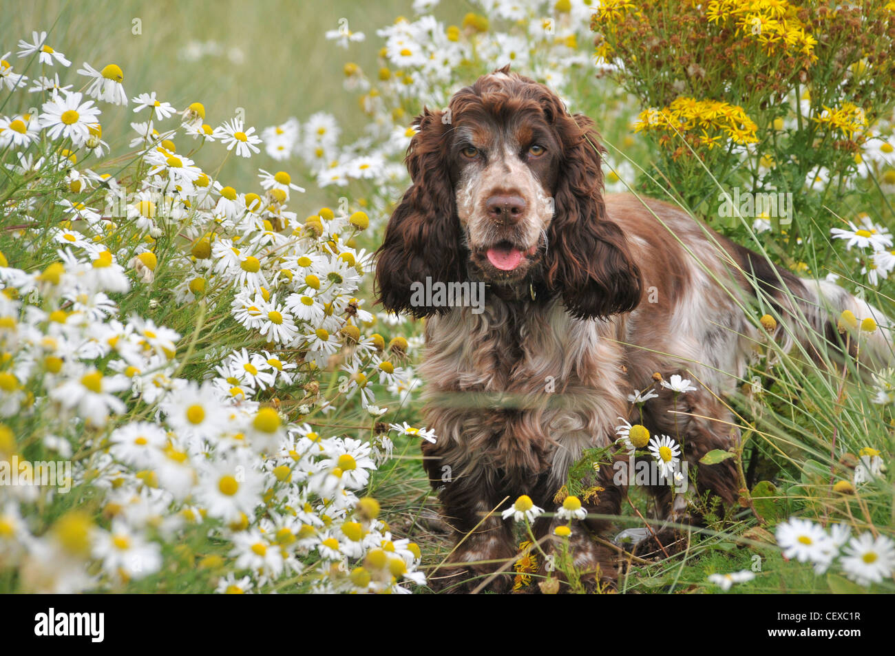 A cute brown and white cocker spaniel stands facing the viewer, in a field of  white and yellow flowers. - Stock Image