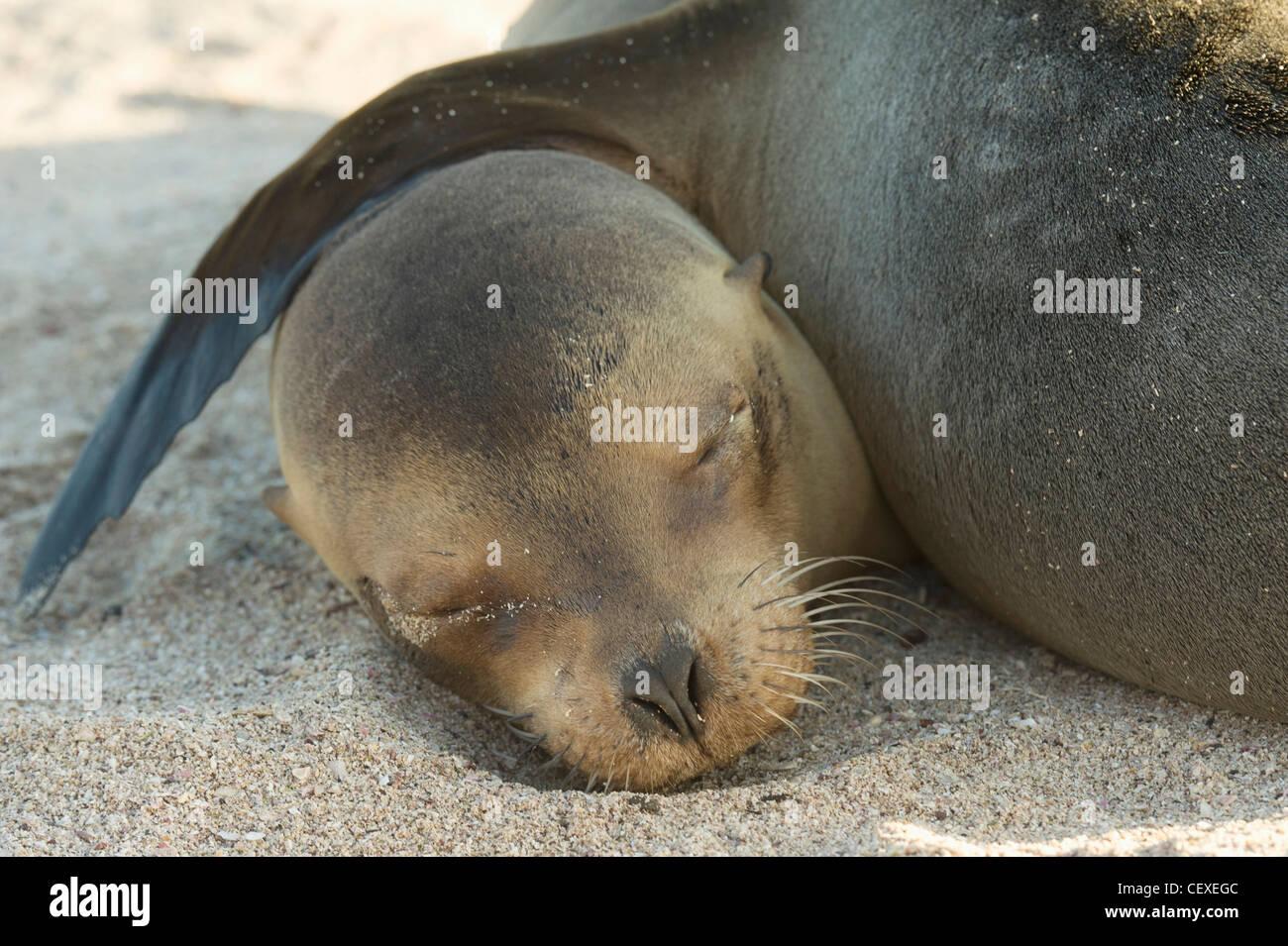 a galapagos fur seal (arctocephalus galapagoensis) sleeping on the sand; galapagos, equador - Stock Image