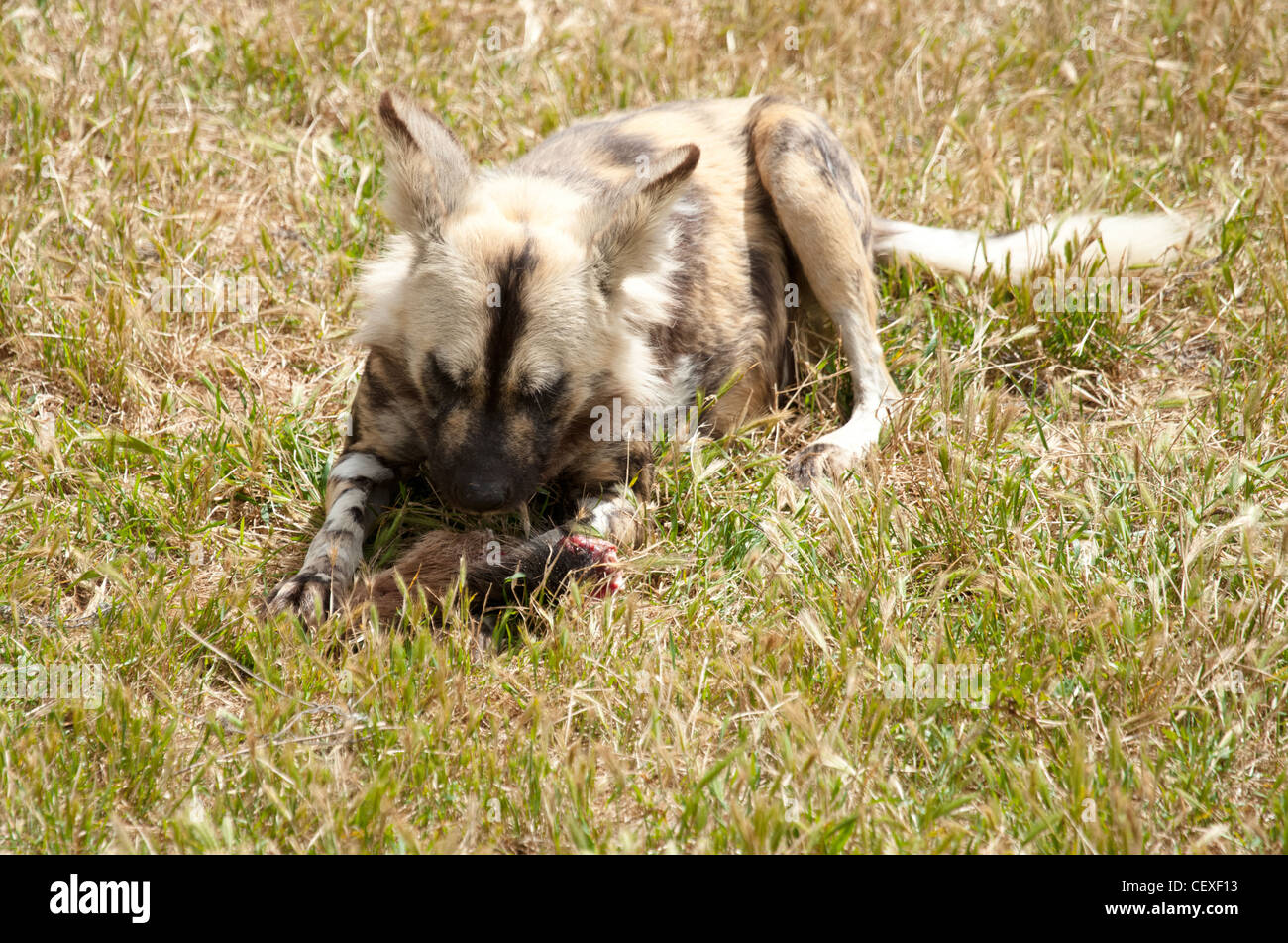 photo of a cape hunting dog eating meat - Stock Image