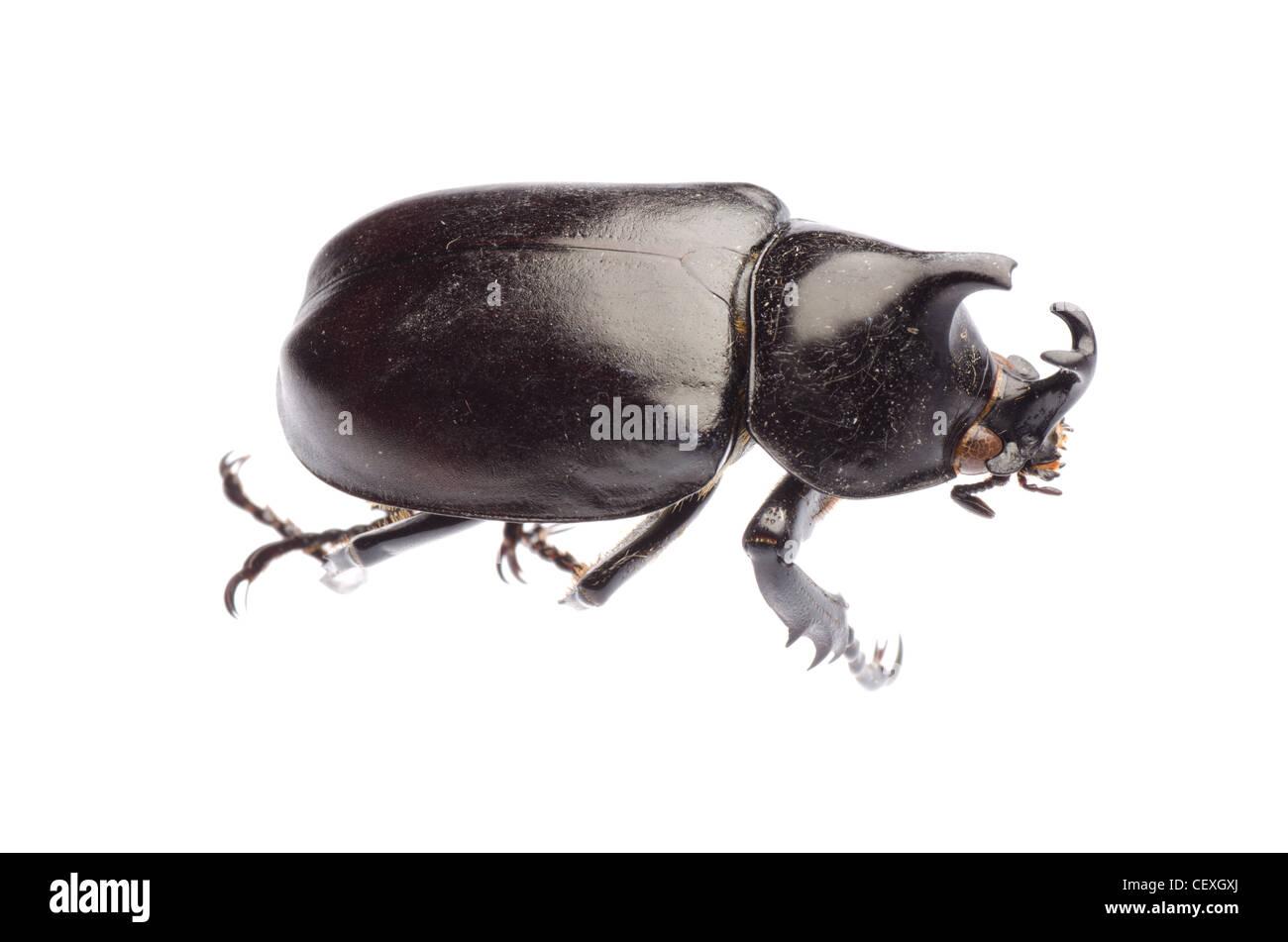 insect giant scarab rhino beetle Xylottrupes gideon isolated - Stock Image