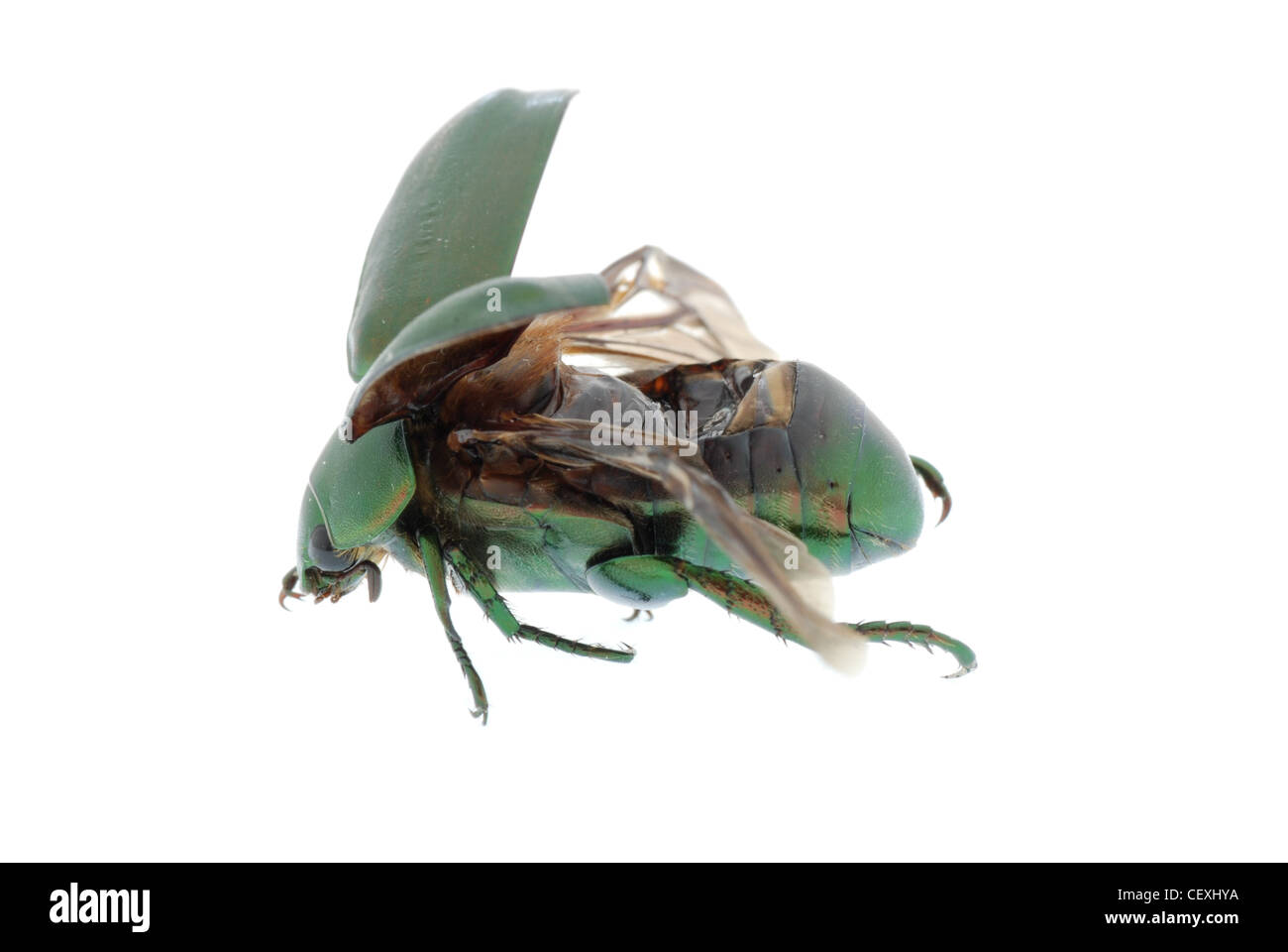 flying insect green beetle (Anomala cupripes) isolated on