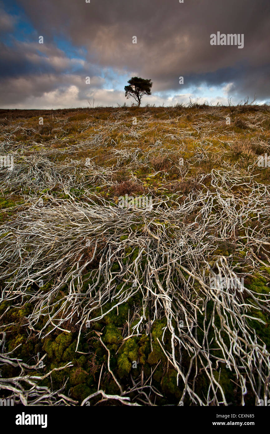 Lone Pine Tree on the North York Moors National Park in Winter Stock Photo