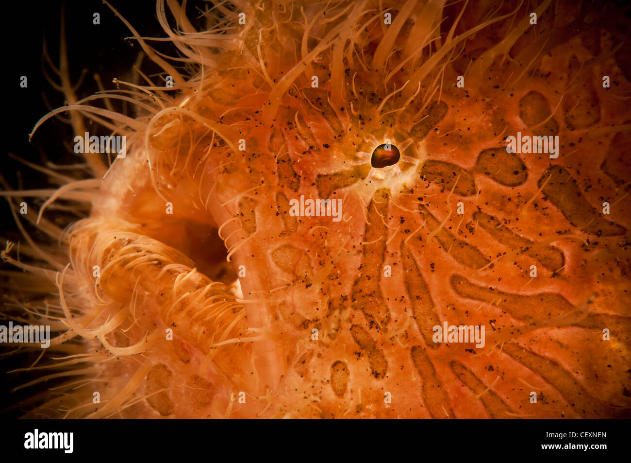 Hairy frogfish, Lembeh, Indonesia, Asia - Stock Image