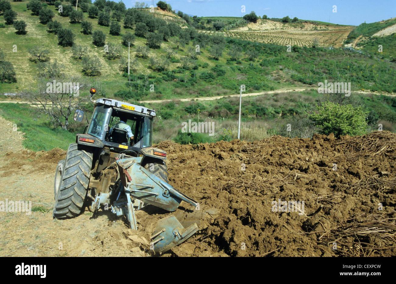 ITALY Calabria , Rossano , harvest of liquorice roots from plant liquorice Glycyrrhiza glabra for liquorice confectionery Stock Photo