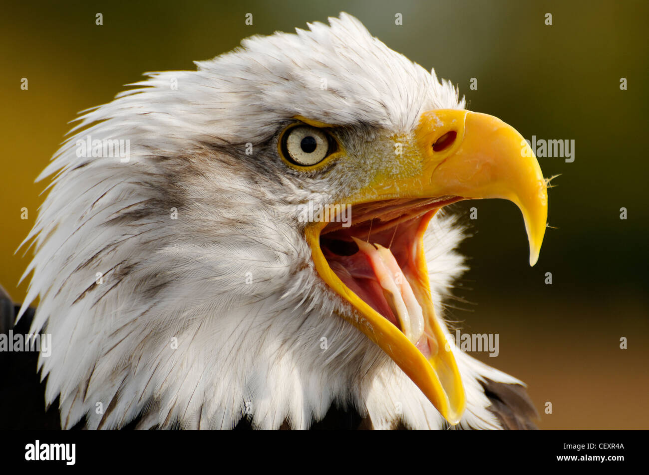 Eagle With Mouth Open Eagles Tongue Fierce Looking Beak Stock Photos ...