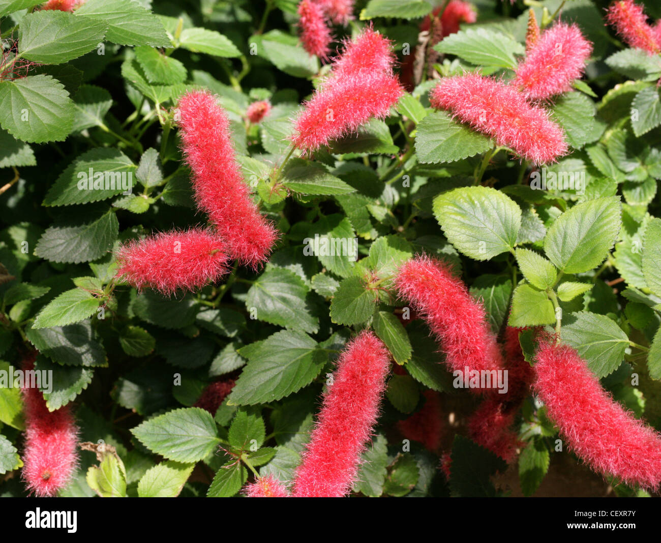 Dwarf Or Trailing Chenille Plant Strawberry Firetails Red Hot