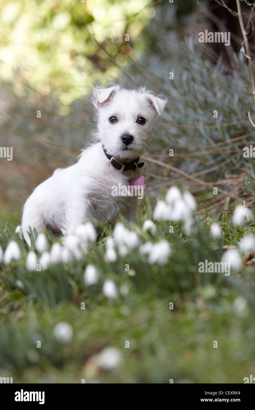 West Highland Terrier puppy, 9 weeks old, in a meadow with snowdrops, UK - Stock Image