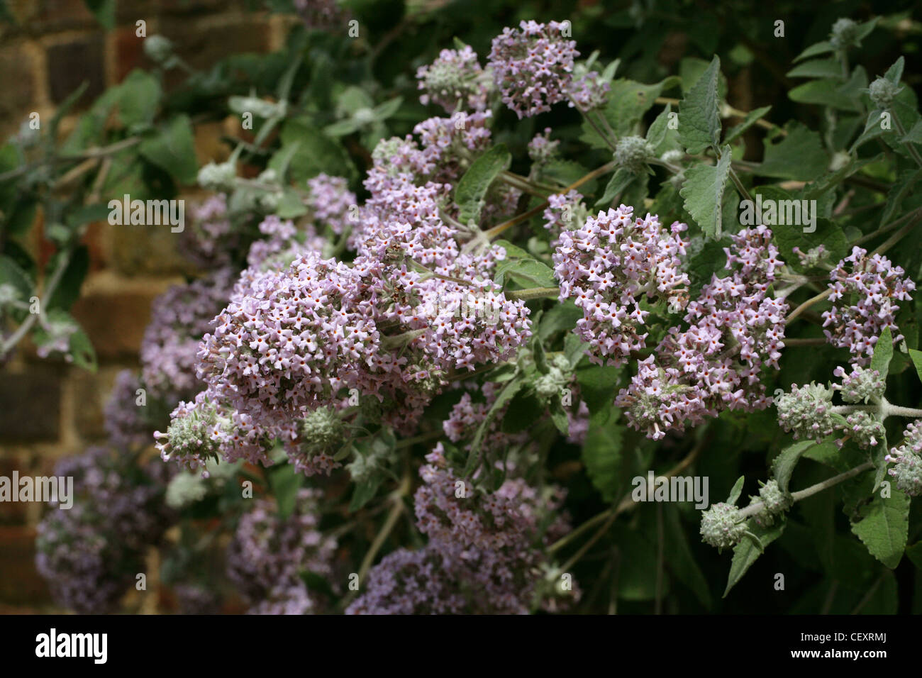 Himalayan Butterfly Bush, Buddleja crispa, Scrophulariaceae. Native to Afghanistan, Bhutan, North India, Nepal, - Stock Image