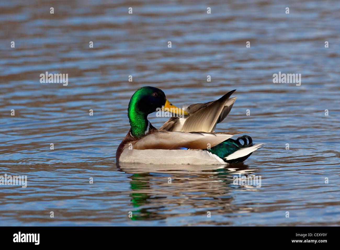 Mallard / Wild Duck (Anas platyrhynchos) drake preening feathers on lake Stock Photo