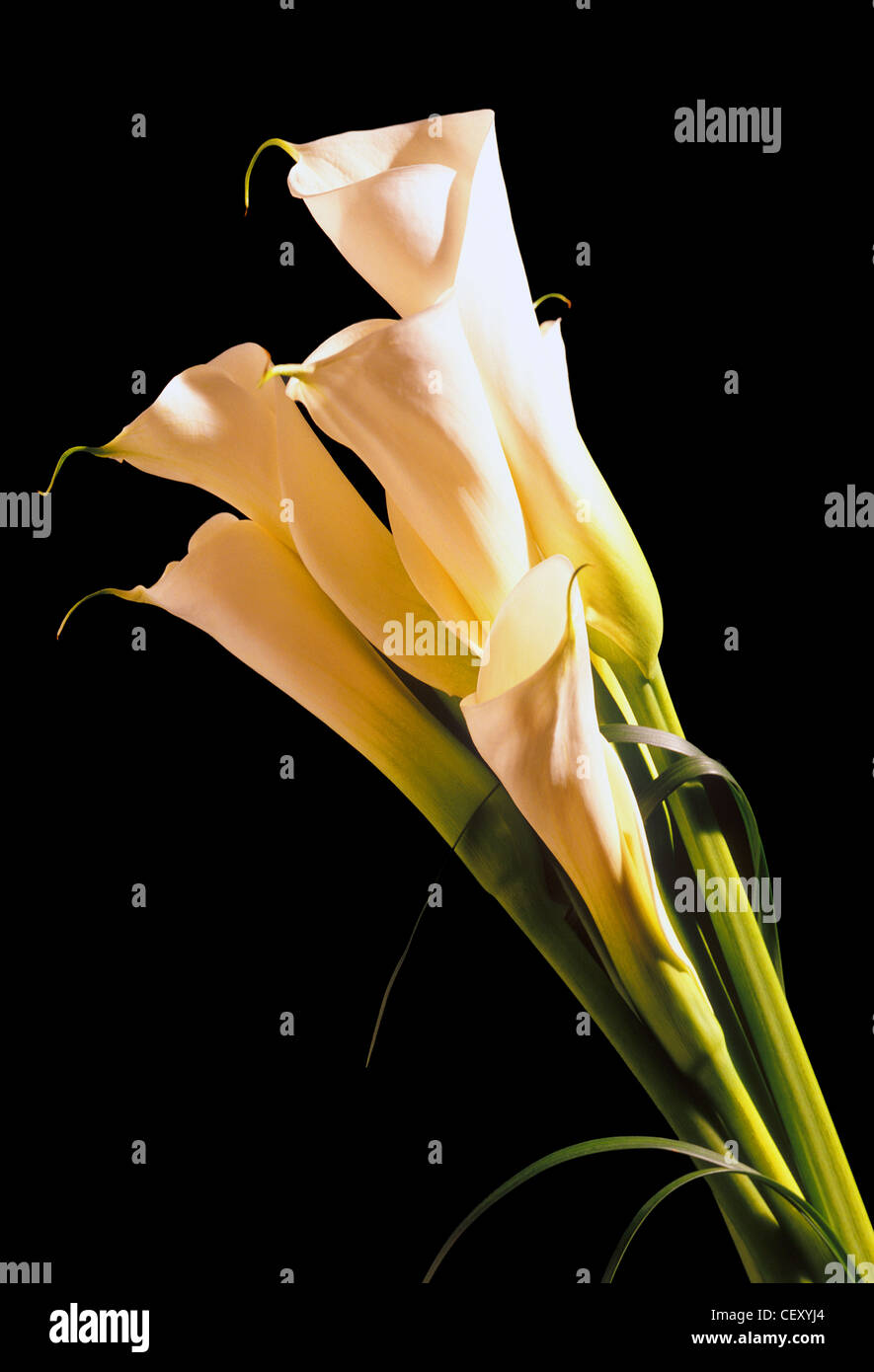 Tubular lily stock photos tubular lily stock images alamy a still life shot of a lily flower on white background stock image izmirmasajfo