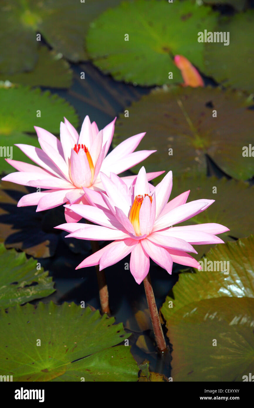 Water Lily Flower In Village Stock Photos Water Lily Flower In