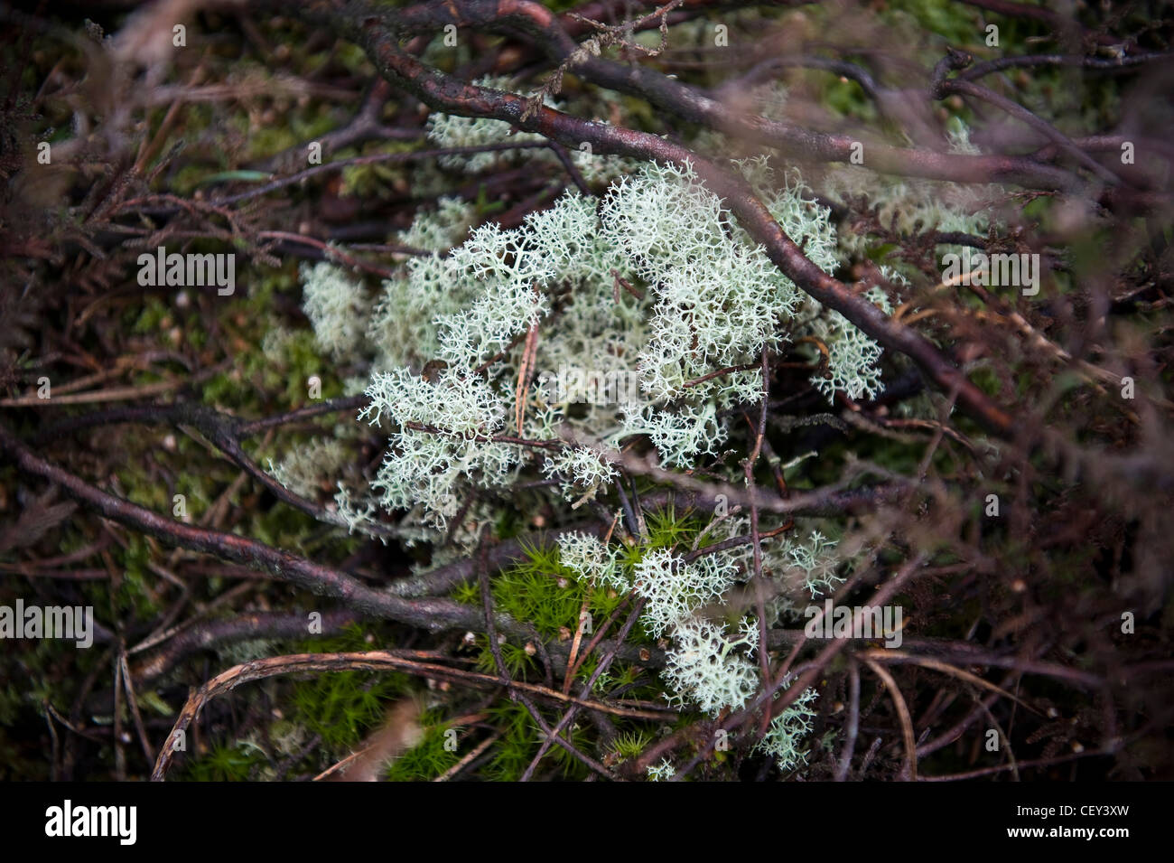 Lichen and moss on Iping Common near Midhurst, West Sussex, UK - Stock Image