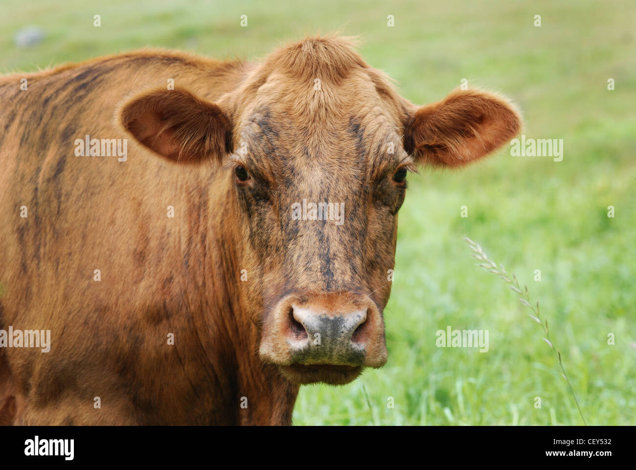 Brindle colored cow, close up in a green meadow - Stock Image