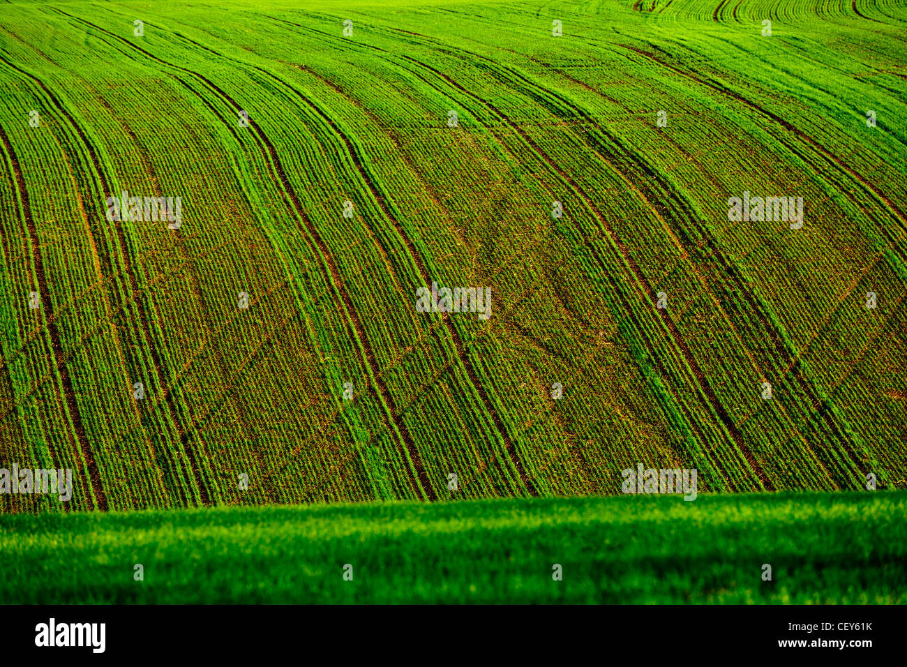 Green wheat field rows in late summer, abstract background - Stock Image