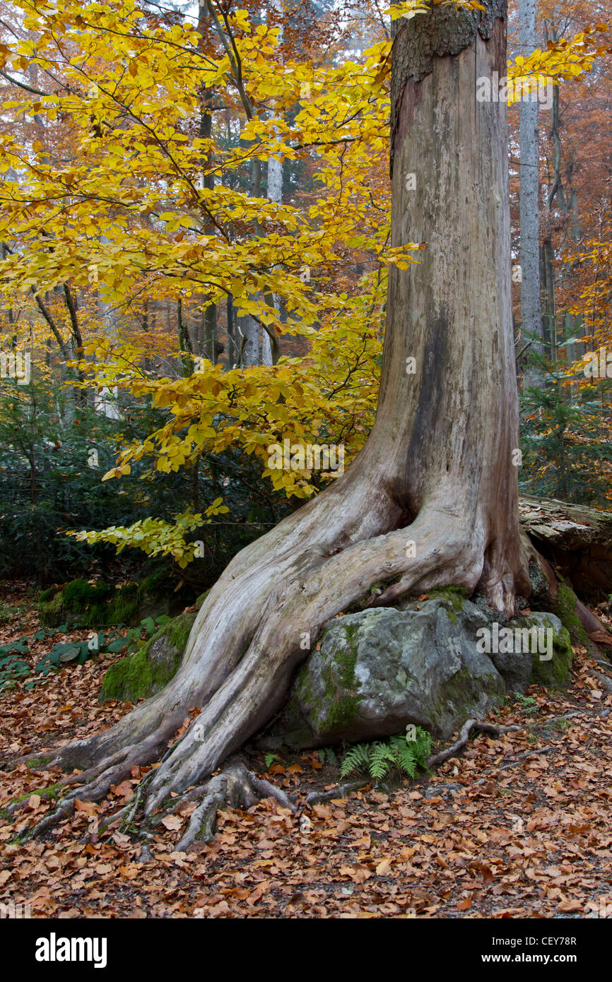 Fall STONES dead wood dead wood old tree root Stock Photo