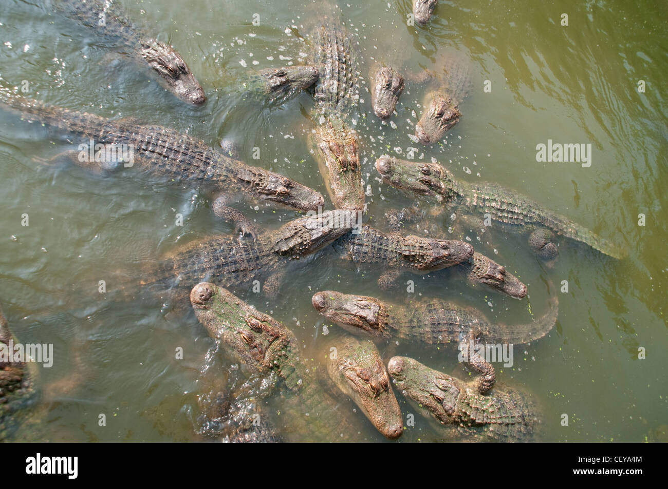A group of alligators feeding at a zoological garden near Shreveport, in northern Louisiana. - Stock Image