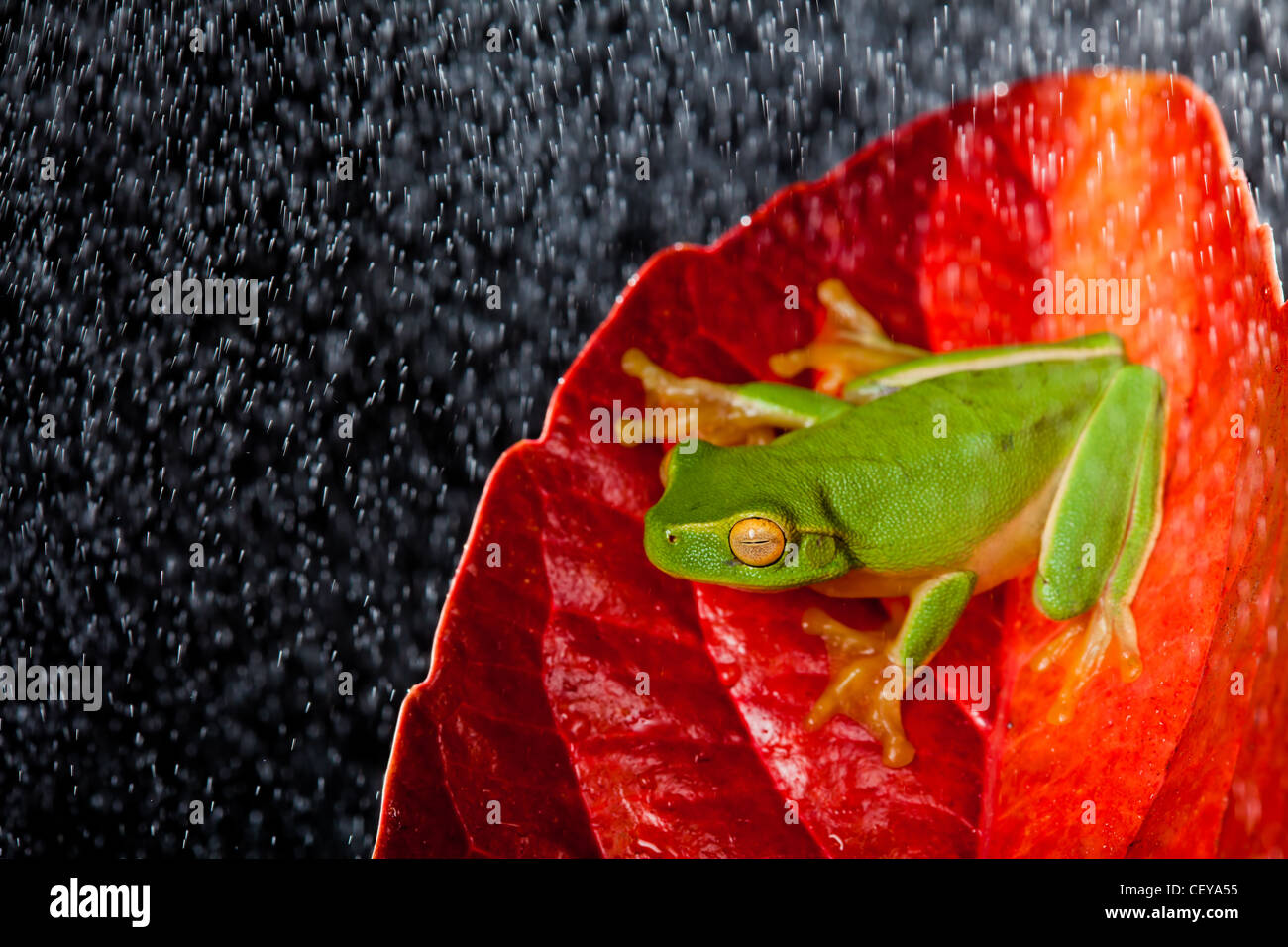 Little green tree frog sitting on red leaf in rain - Stock Image