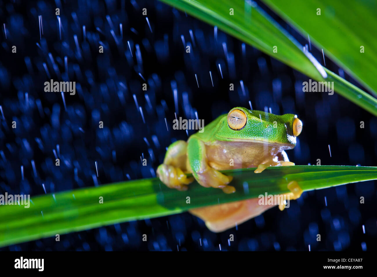 Little green tree frog sitting on green leaf in rain - Stock Image