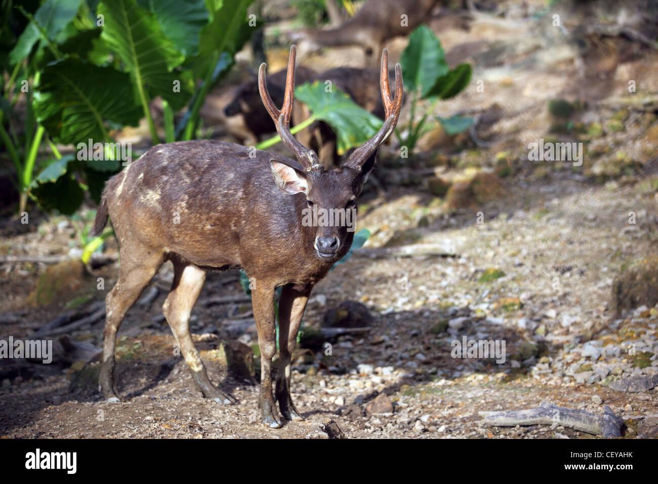 Java Deer at Lok Kawi Wildlife Park. Kota Kinabalu, Sabah, Borneo, Malaysia, South-East Asia, Asia - Stock Image