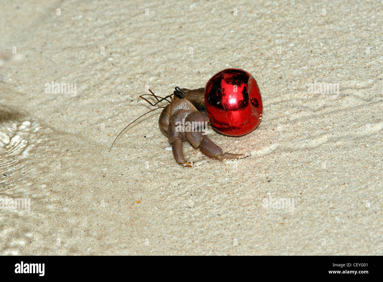 Terrestrial hermit crab Coenobita, is using a red bottle cap as a protective shell instead of the usual mollusk - Stock Image
