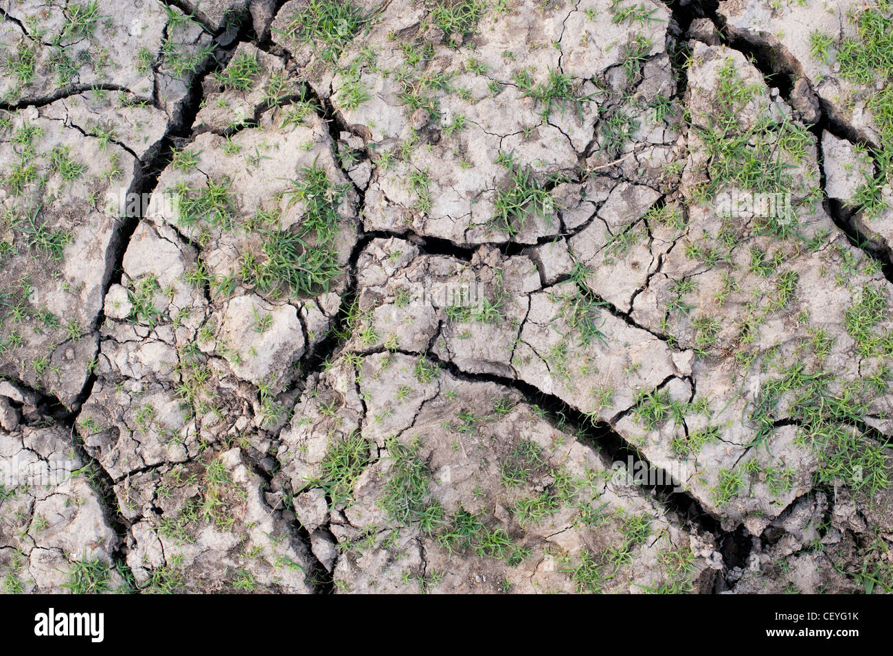 Grass regenerating on a dry cracking clay soil lake bed in the indian countryside - Stock Image