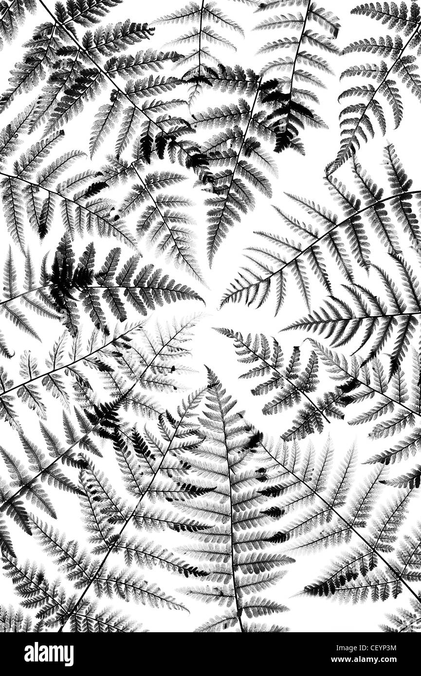 Fern leaves on white background. Monochrome - Stock Image