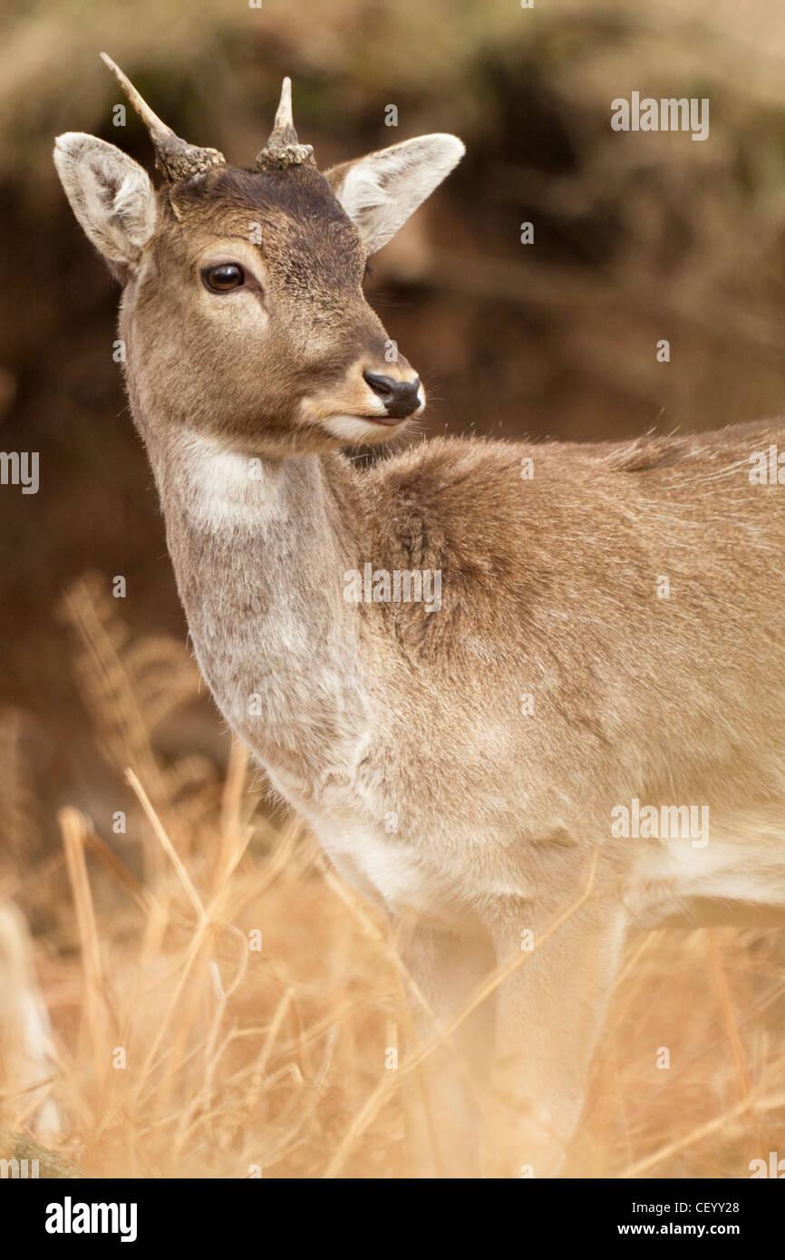 Fallow Deer at Dunham Massey - Stock Image