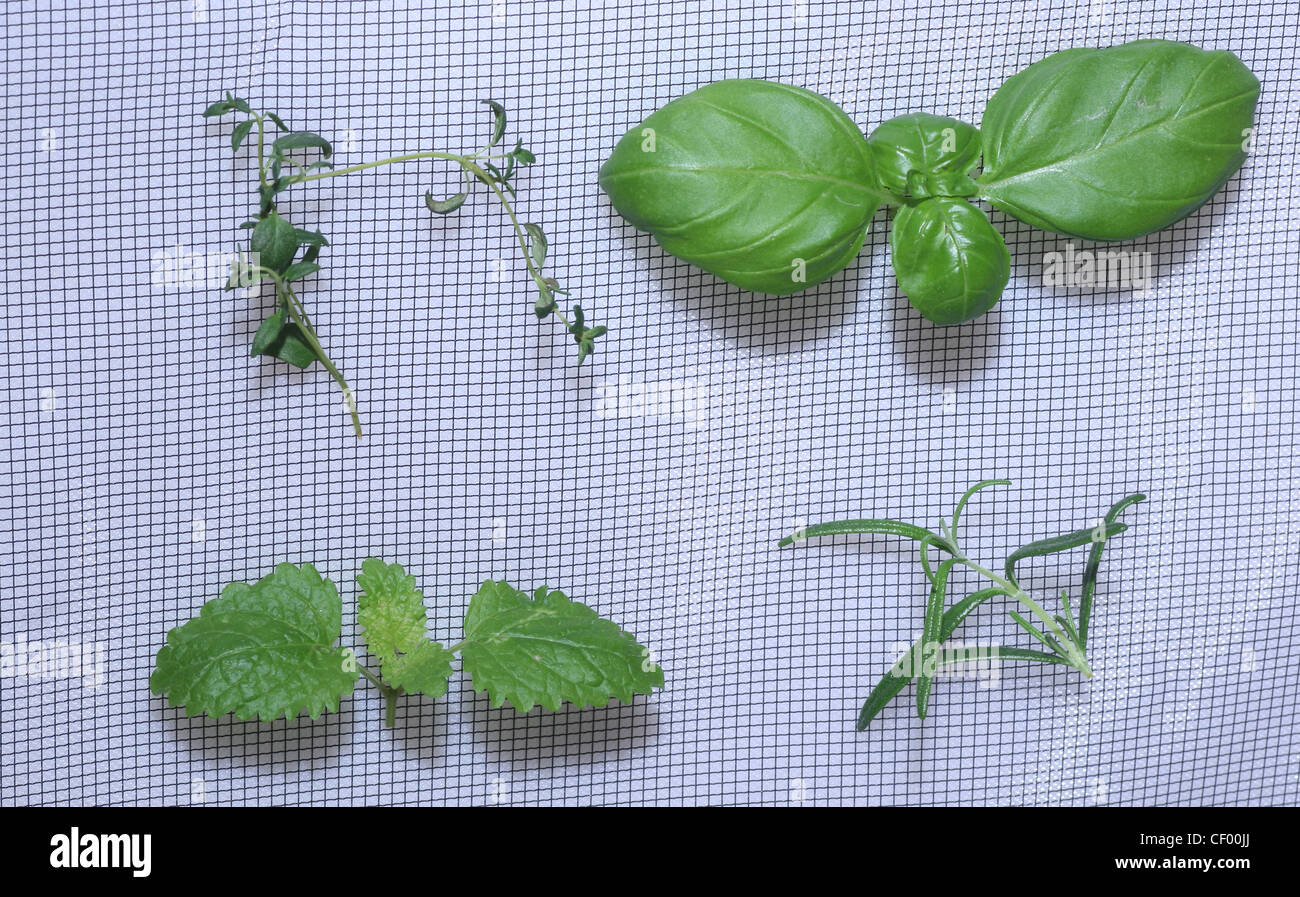 Basil Lemon Balm Pictures