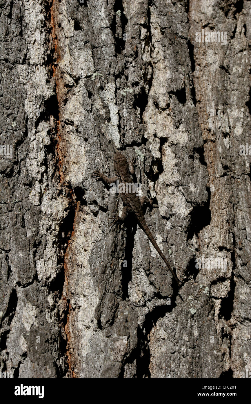 eastern fence lizard on pine tree bark Red River gorge