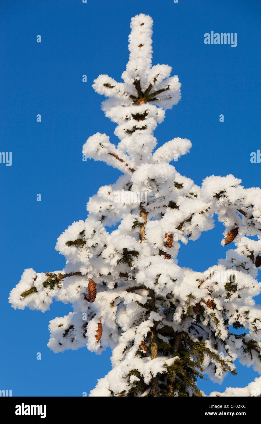 Snowy spruce ( picea abies ) treetop and cones - Stock Image