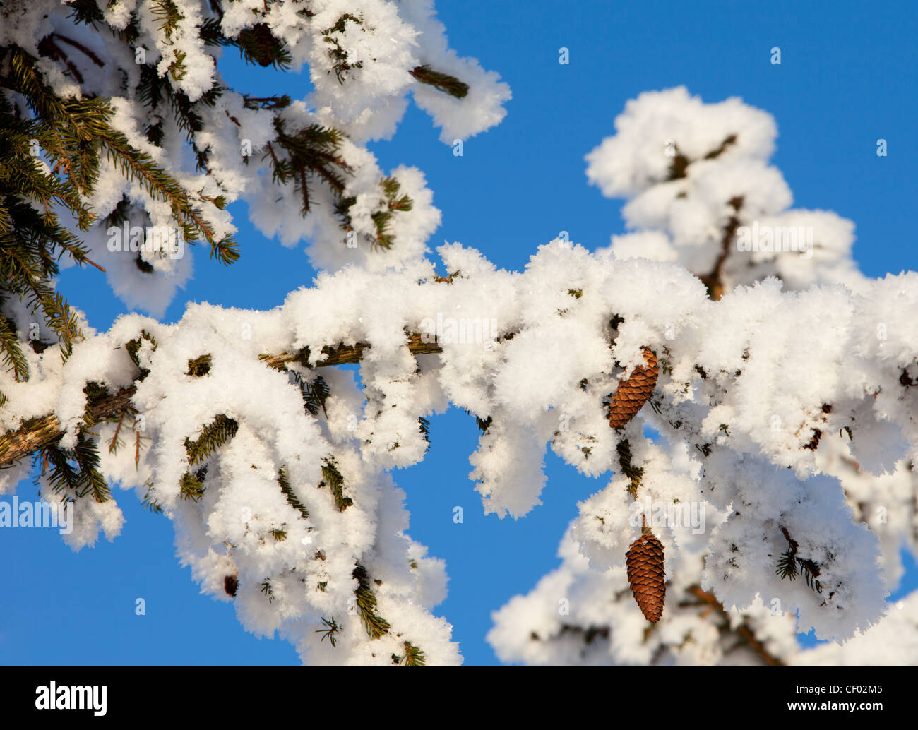 Snowy spruce ( picea abies ) branch with cones - Stock Image