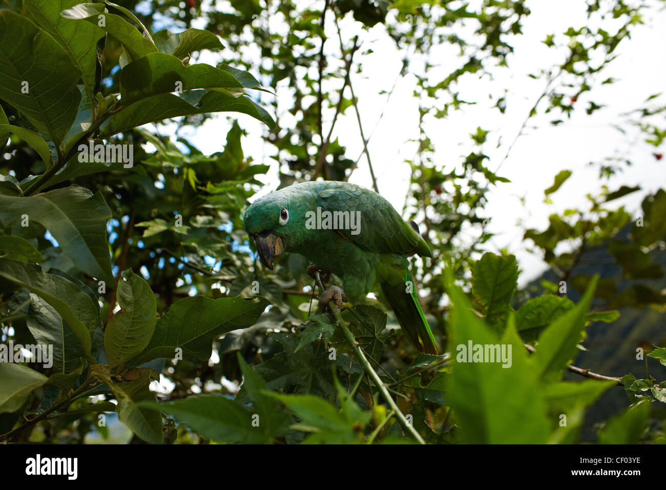 Green Parrot sits on the branches of trees, look into the camera - Stock Image