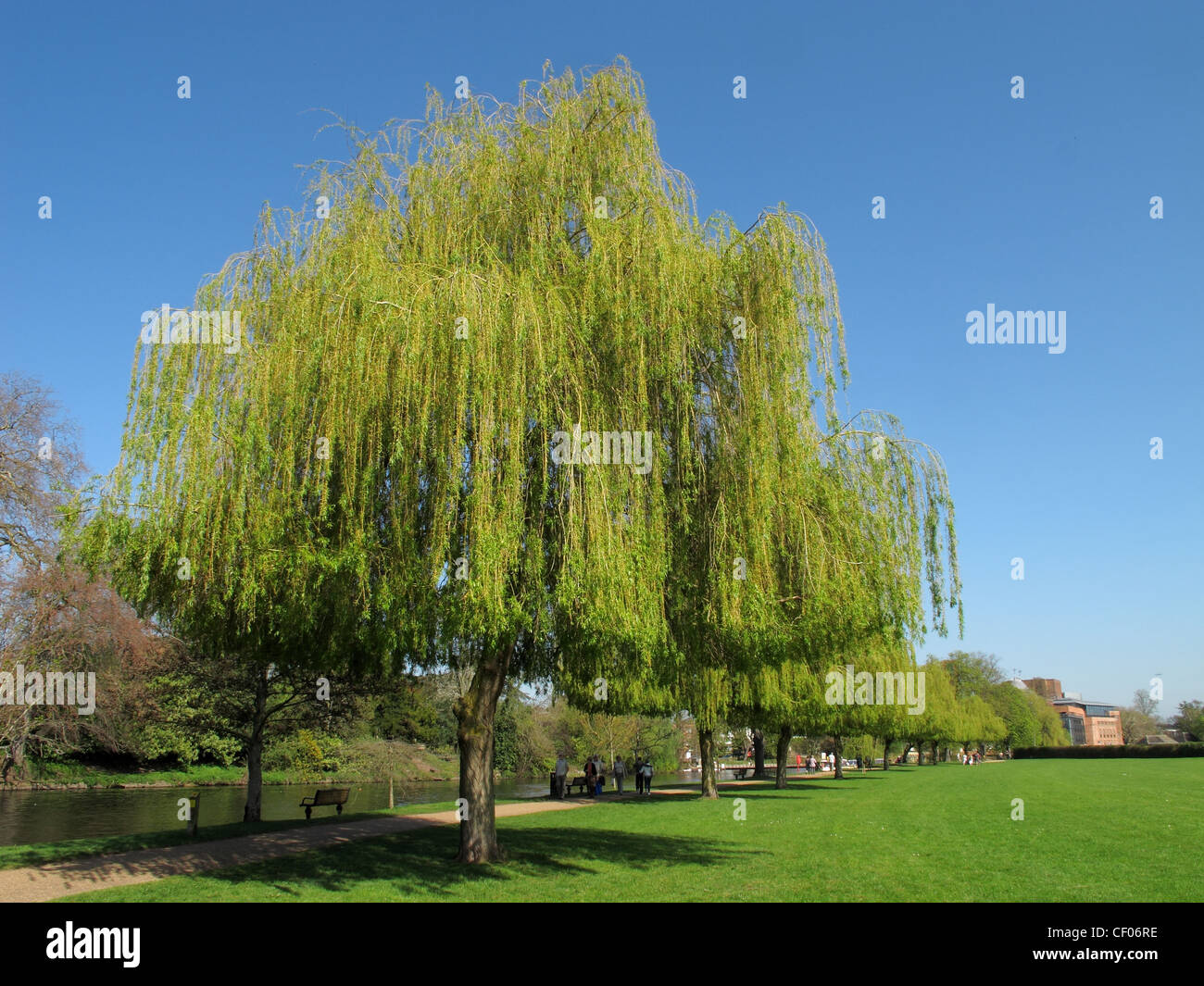 Clipped willows alongside the River Avon at Stratford, WArwickshire - Stock Image