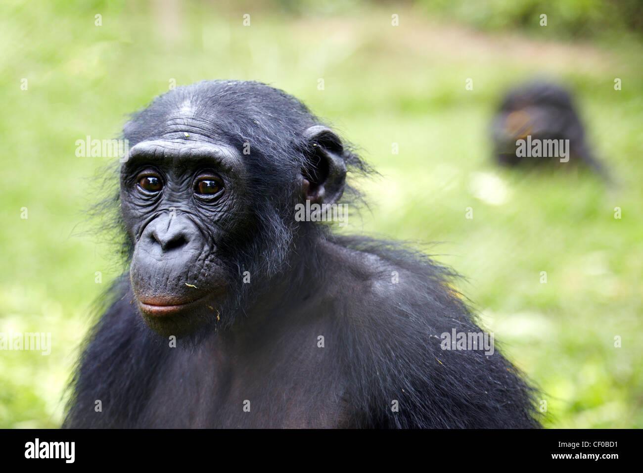 Bonobo (Pan paniscus), Democratic Republic of Congo, Africa - Stock Image