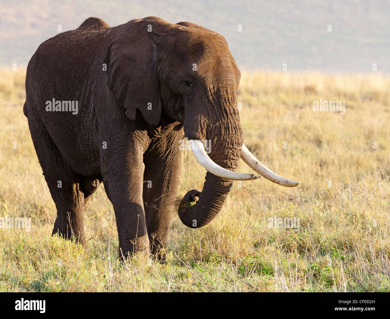 Male elephant, Ngorongoro Crater, Tanzania - Stock Image
